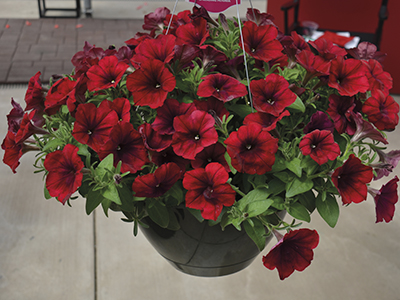 Petunia easy wave red velour (4009)