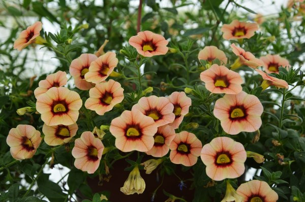 Calibrachoa Peach Star (4092)