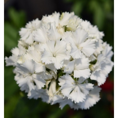 Dianthus barbatus dash white (1395)