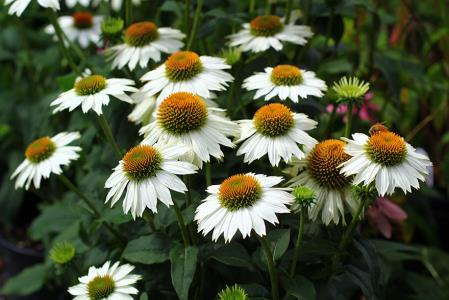 image Еchinacea Powwow White  (1119)