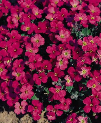 image Aubrieta Royal Red (1014)