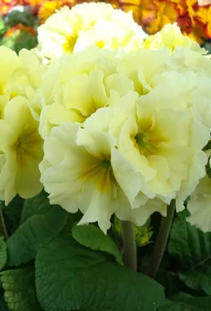 Polyanthus Showstopper Cream (1324)