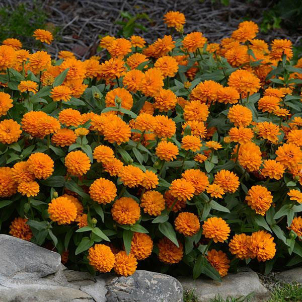 image Zinnia  Zahara Double Bright Orange (135)